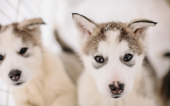 DogSledPuppies